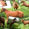 photographie-de-chevaux