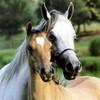 chevaux-les-star