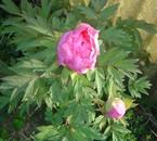 pivoine rose 2006