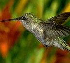 c'est un colibri