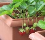 Les 1ères fraises en mars!!
