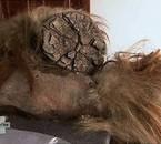 Matière grise - Mammouth - faire repousser un membre coupé