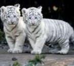 ses mes deux petit tigre