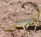 Ce scorpion a ete trouver dans le sud du Maroc plus precisem