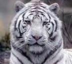 protégé  les animaux rare comme se tigre blanc