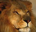 lion aguinane