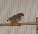 femelle mandarin grise