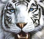 tigre blans pour les winners