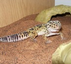 Azur mon gecko leopard