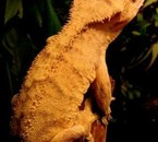 Fredy mon crested gecko