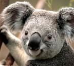 beau petit koala