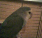 mon oiseau elle s'apelle  bella