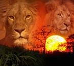 je kiff les lions