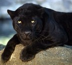 i am a black panthere