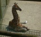 Zuberi la girafe de Bellewaerde park 2010