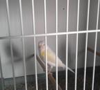 femelle lipo mosaique jaune