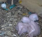 nouveau bébé ara né le 19 et 21 aout 2010