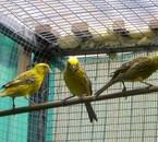 lizards en cage d'envol
