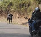 Entre le taurau et les motards qui vas gagner ?  En Corse