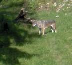 loup dans le Jura 2009