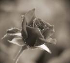 la plus belle des roses