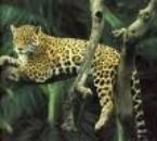 guepard sur un arbre