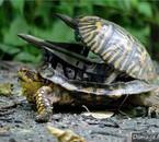 tortue-de-guerre