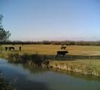 Les taureaux