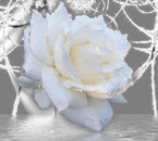 la roses des anges du boneur