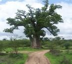 Le baobab de NDIATHIANG, si seul, si isolé mais si robuste..