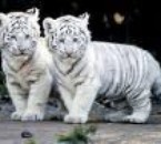 les tigre c'est bo