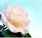 rose blanche pureté