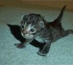 un chat qui fait des pompes !!
