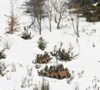hiver rude pour les cervidés
