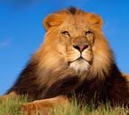 Je suis lion et vous ?