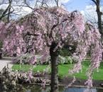 Les cerisier en fleur sont au Japon du Sakura