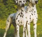 2 dalmatien