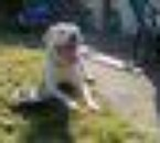 the dogo Aston