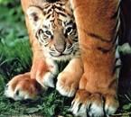 bo petit tigre la maman tigre surveille bien son tit