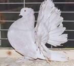 Le Pigeon Paon Indien