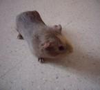 C'est mon cochon d'inde quand il était petit !