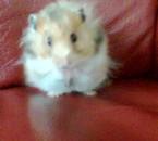mon ti hamstere