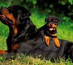 Le rottweiler ma grd passion