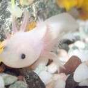 L'axolotl, animal typique tu phénomène de la néoténie