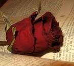 une roze rouge