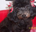 this is my little dog muñeca it means doll in english !!!
