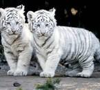 2 bébé tigre
