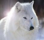 Quel beau loup!!