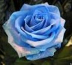 moi la rose