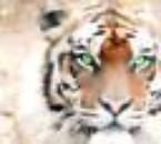 """voici le grand """"waooohh"""" du tigre persant la savane!!!"""